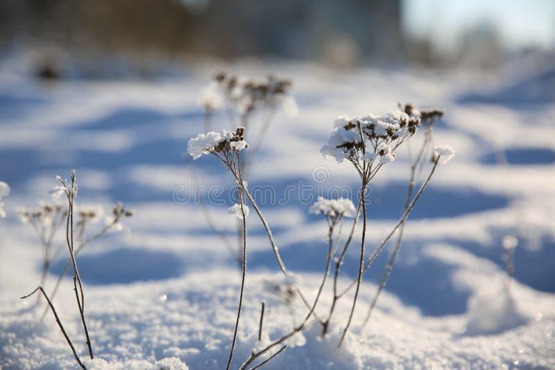 De wintersneeuw - Bloemen in de sneeuw stock afbeelding