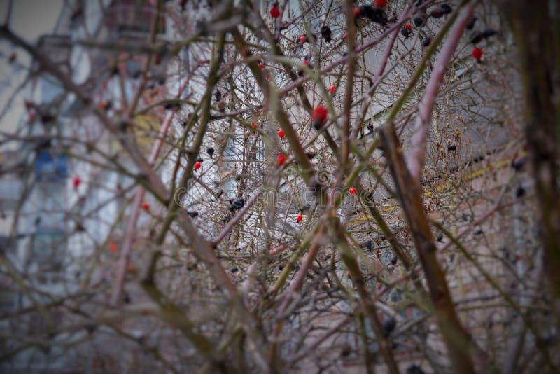 De winterstruik van een dogrose in een woonwijk royalty-vrije stock foto