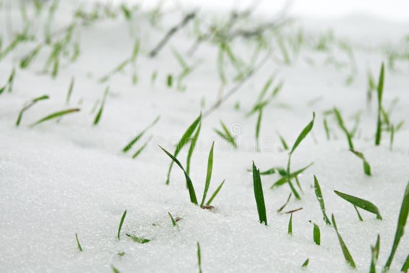 De wintertarwe onder de eerste sneeuw stock afbeelding