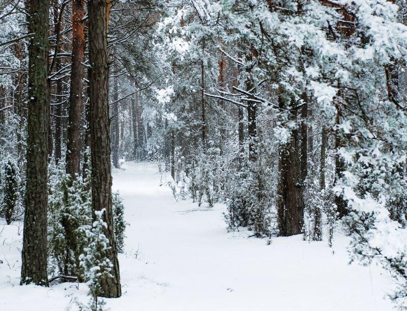De winterweg in het pijnboombos stock foto's