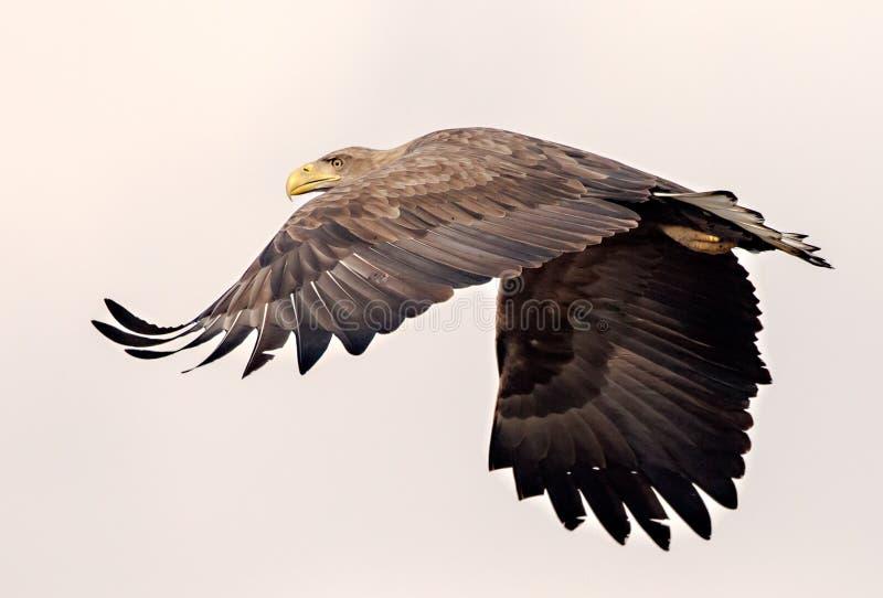 De wit-de steel verwijderde van adelaar gaat weg royalty-vrije stock foto