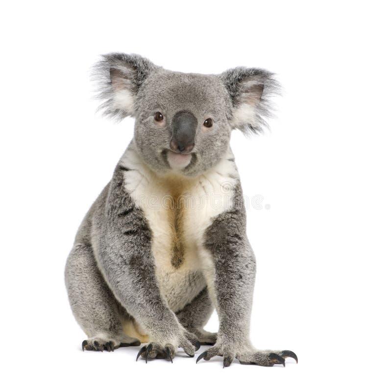 De witte achtergrond van de koala againts stock afbeelding