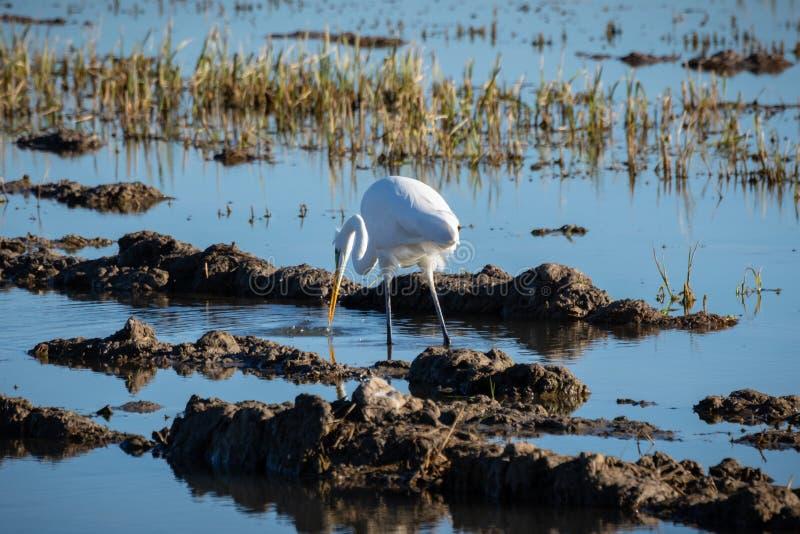 De witte alba jacht van aigretteardea en visserij in de padievelden van het natuurreservaat van Albufera, Valencia, Spanje Natuur royalty-vrije stock foto