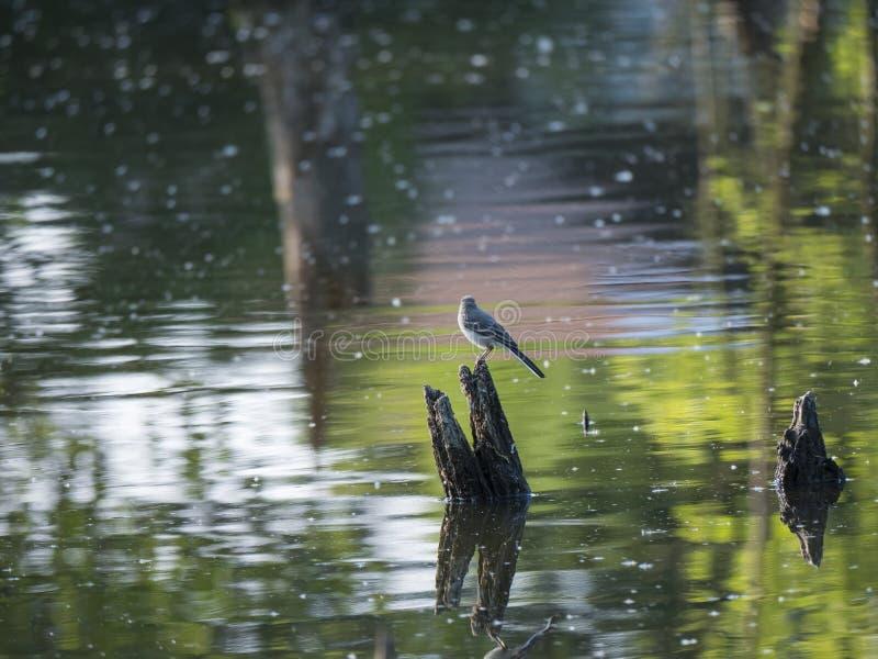 De witte alba status van Kwikstaartmotacilla op drijvende houten stok of boomboomstam, met waterbezinning over groene mooi royalty-vrije stock foto's