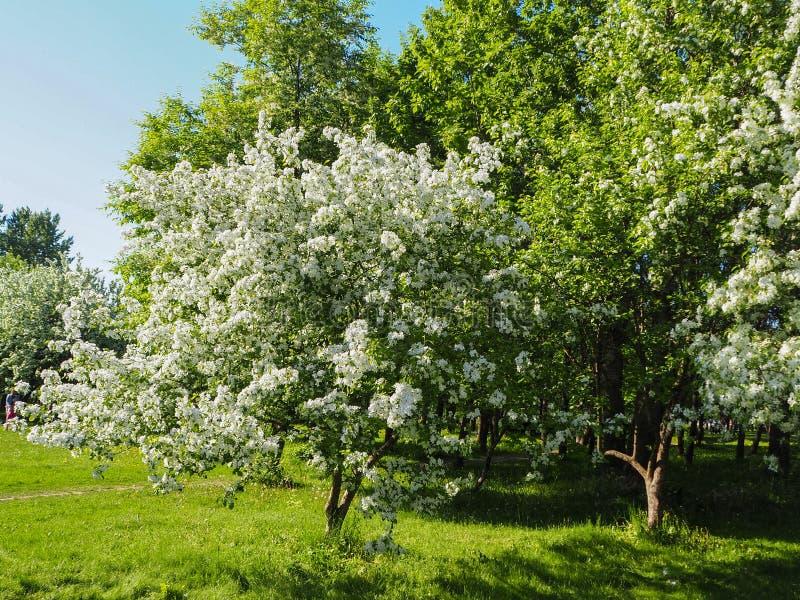 De witte appelboom is bloeiend in het park op de heldere zonnige dag stock afbeeldingen