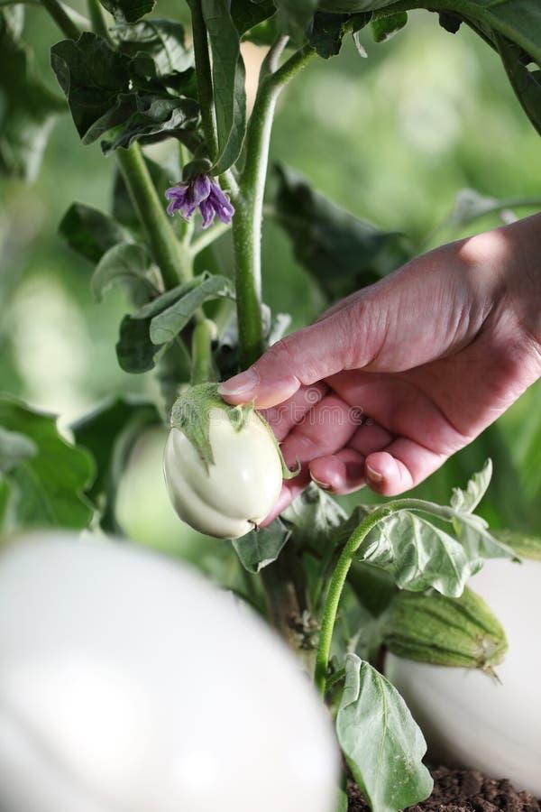 De witte aubergine van de handaanraking van de installatie in moestuin, cl stock foto's
