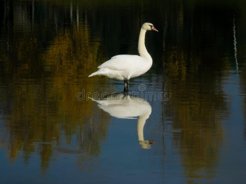 De witte bevallige zwaan in de de herfstvijver maakt zijn veren, status schoon royalty-vrije stock fotografie