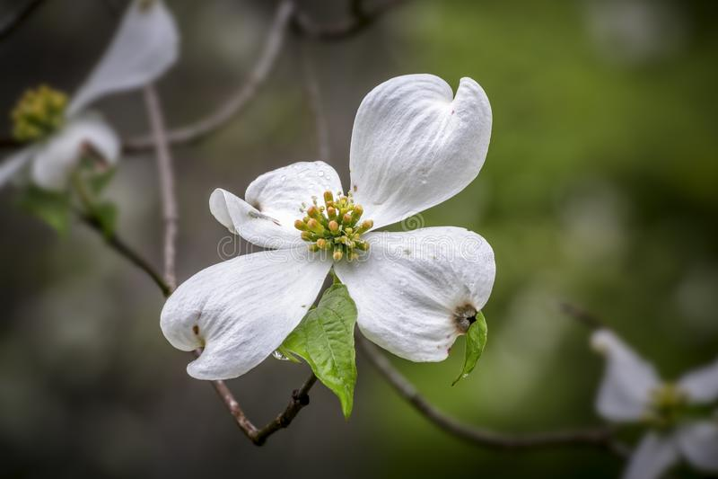 De witte bloeiende bloesem van de kornoeljeboom stock afbeelding