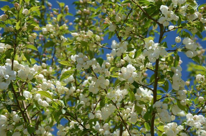 De witte Bloeiende Bloesems van Krabapple royalty-vrije stock fotografie