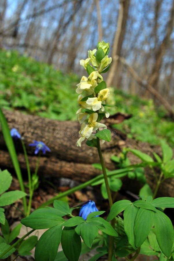 De witte bloem van Corydalisbracteata, de lente in het houten, grijze gras stock afbeelding