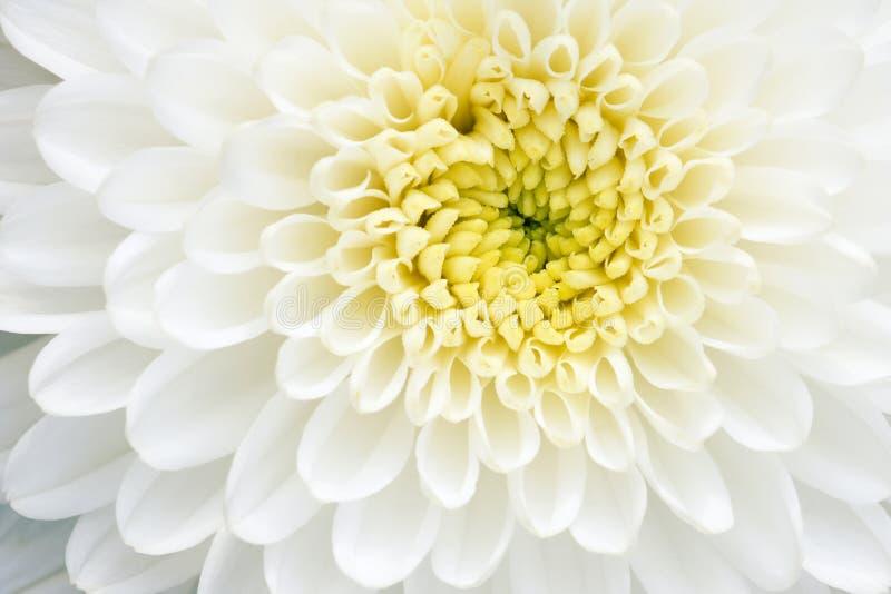 De witte bloem van de Chrysant royalty-vrije stock afbeeldingen