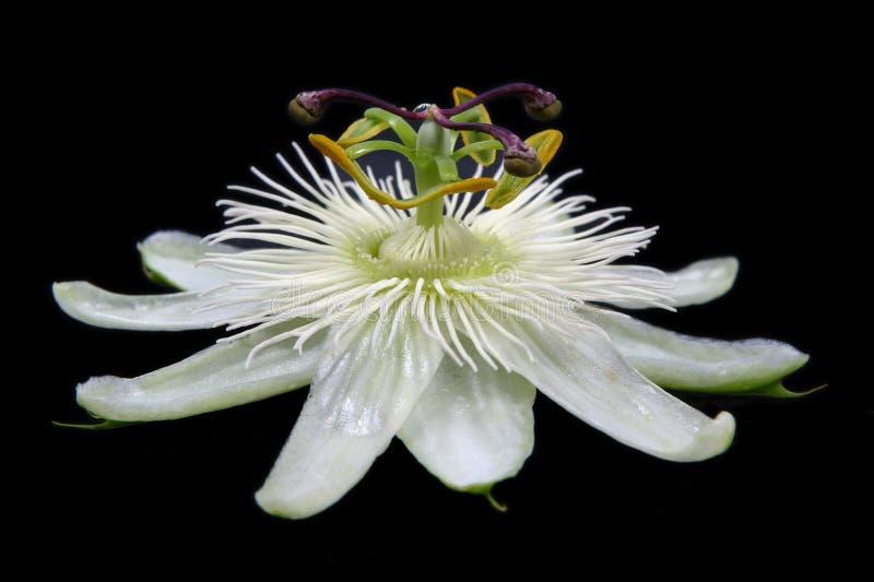 De witte Bloem van de Hartstocht stock afbeelding