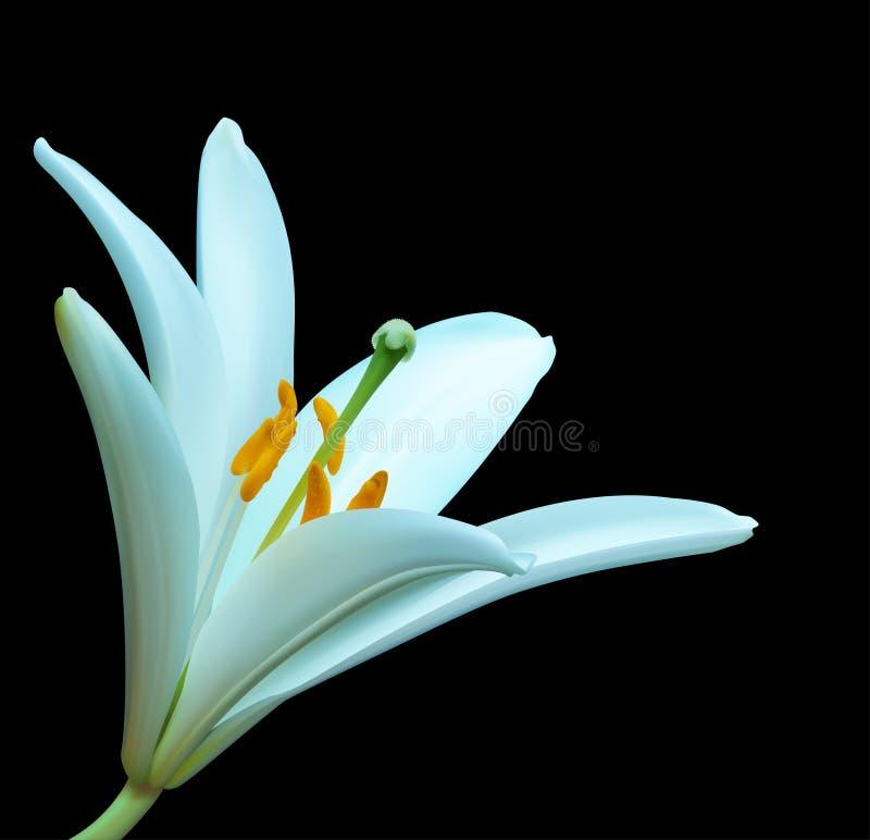 De witte bloem van de Lelie stock illustratie