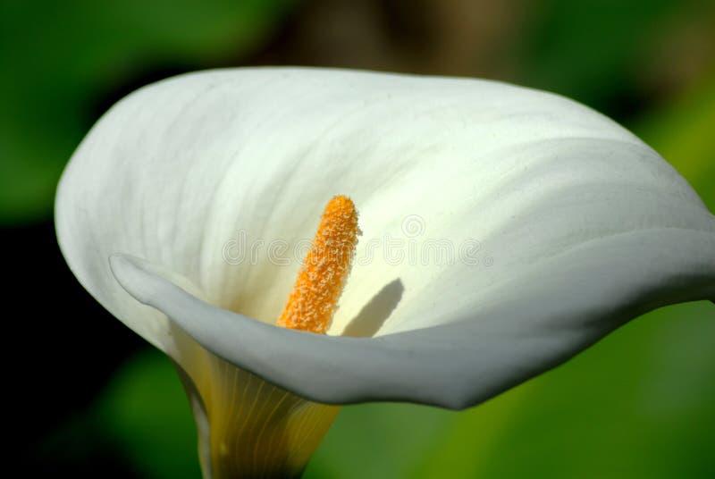 De witte Bloem van de Lelie royalty-vrije stock afbeeldingen