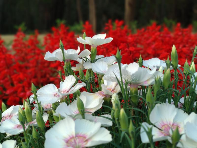 De witte bloemen, en de rode bloemen in de tuin van mijn huis, houden van dit bloeien stock afbeeldingen
