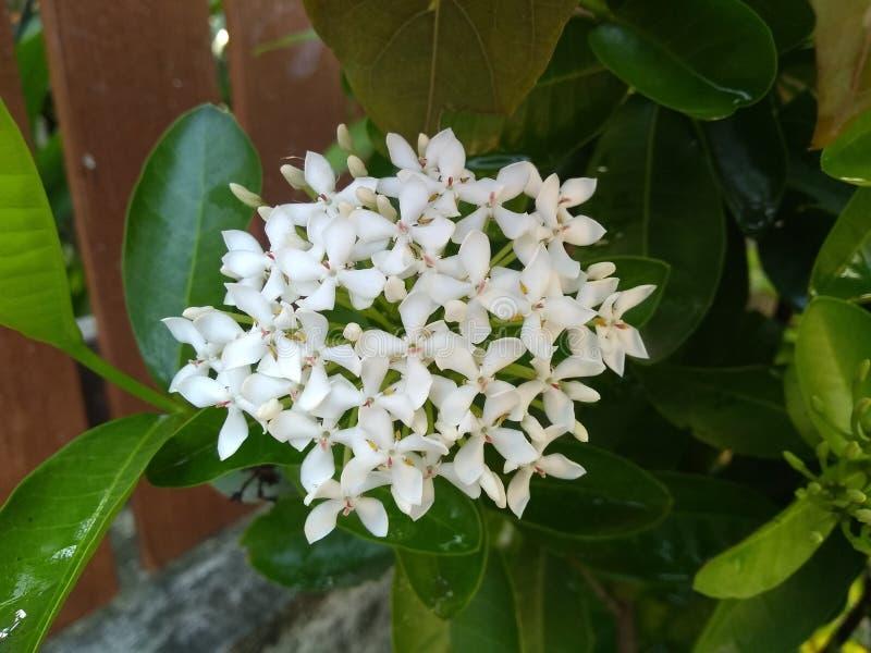 De witte bloemen naast de omheining royalty-vrije stock afbeeldingen