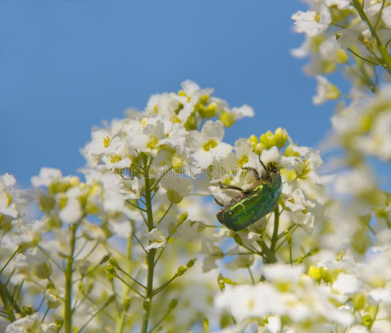 De witte bloemen op een struik planten mierikswortel zittend groene van de brons smaragdgroene kever inschrijving als achtergrond royalty-vrije stock fotografie