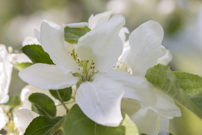 De witte bloemen van een Apple-boom makruclose-up, bloemblaadjes van meeldraad van een appel bloeien stock foto's