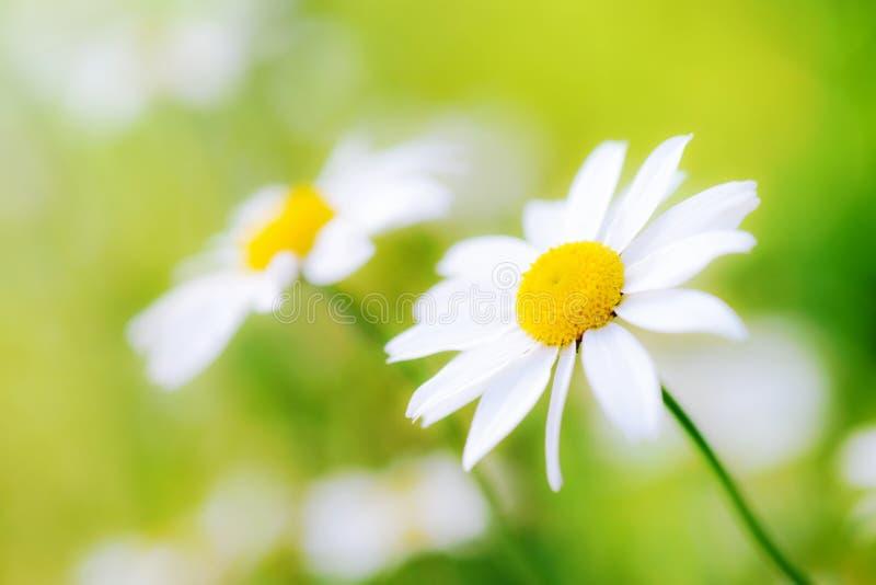 De witte bloemen van het camomilesmadeliefje op groene weide royalty-vrije stock foto