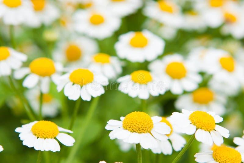 De witte bloemen van het de margrietmadeliefje van de Kamille royalty-vrije stock afbeelding