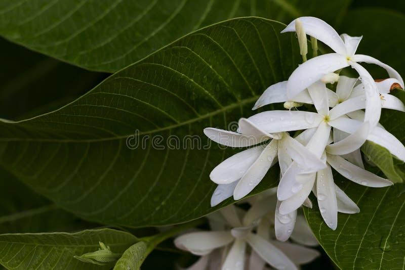De witte bloemen zijn bloeiend in de tuin stock afbeelding