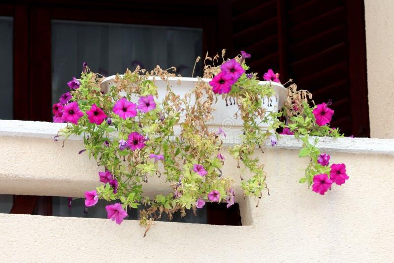 De witte bloempot met klein aantal open donkere roze Petuniabloemen omringde met meestal droge bladeren en sloot bloemen stock afbeeldingen