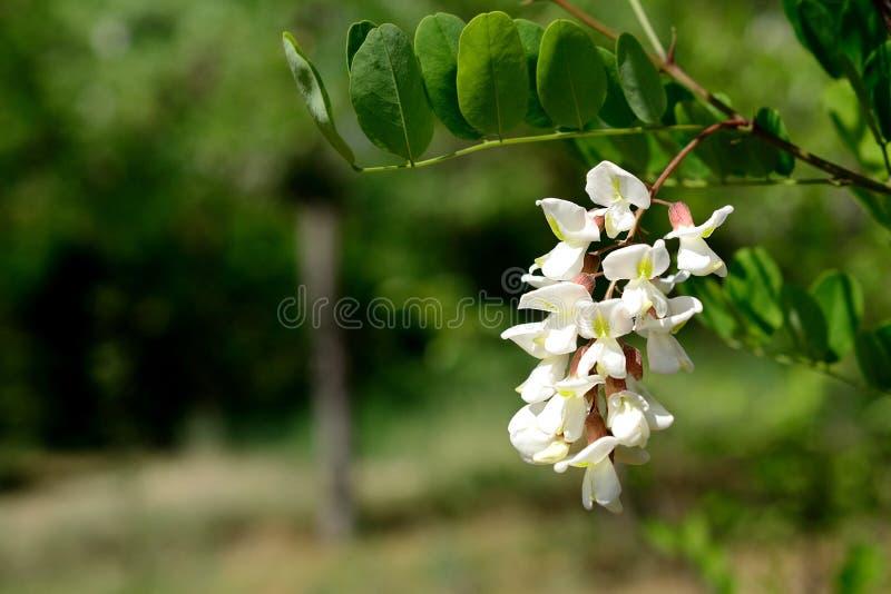 De witte bloesem van de acaciabloem stock foto