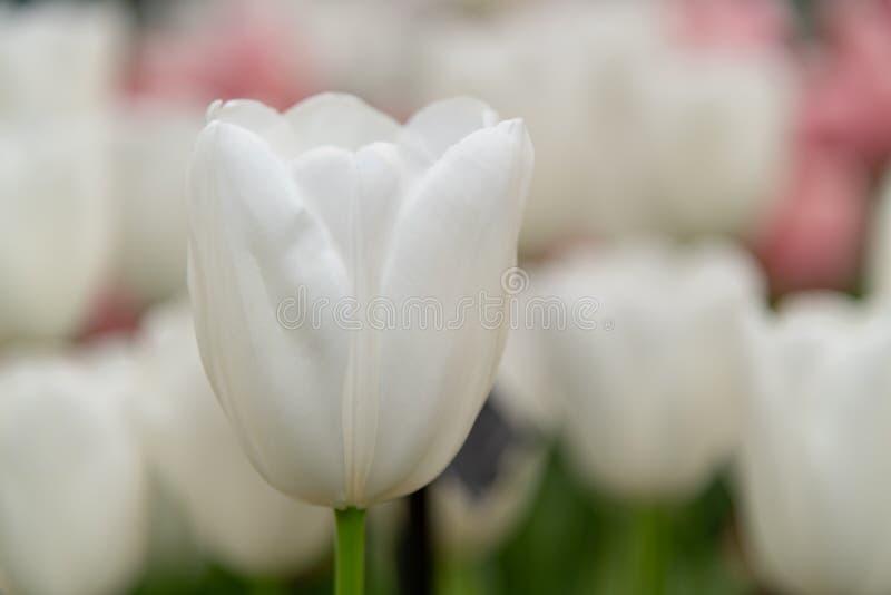 De witte bloesem van de Tulpenbloem royalty-vrije stock foto