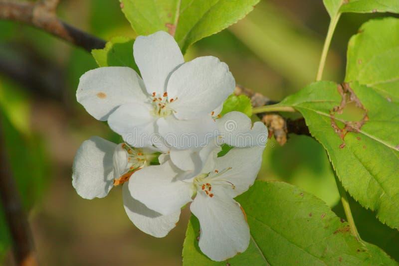 De witte bloesems van de appelboom stock fotografie