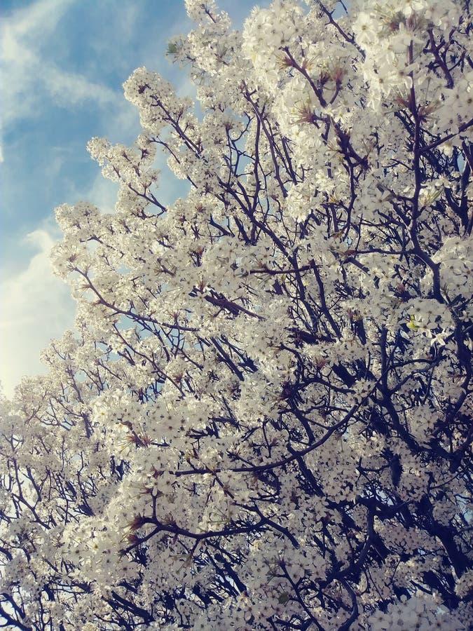 De witte bomen van de kersenbloesem stock foto's