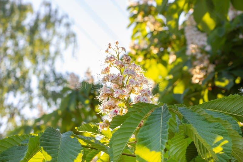 De witte boom van paardekastanjeconker, Aesculus-hippocastanum die bloeit op tak met groene bladerenachtergrond tot bloei komen royalty-vrije stock afbeelding