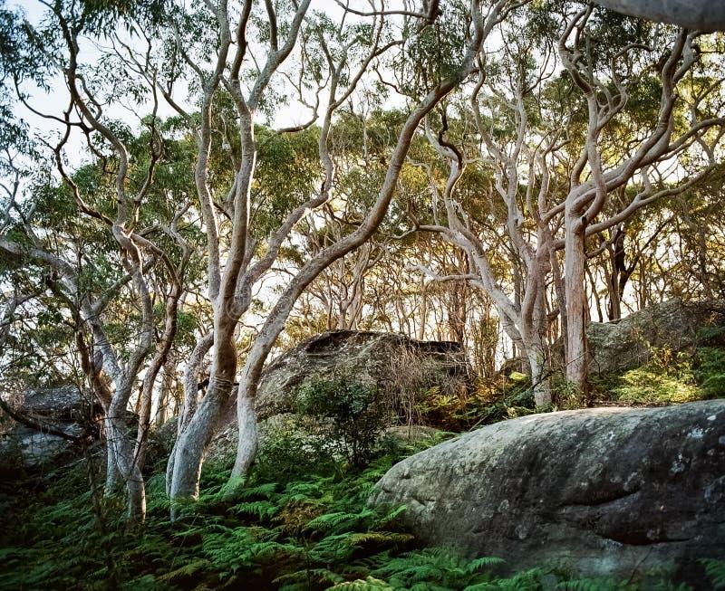 De witte boomstammen van de eucalyptusboom achter aangestoken met warm licht in de groene dekking van de varengrond in kleur Sydn stock fotografie