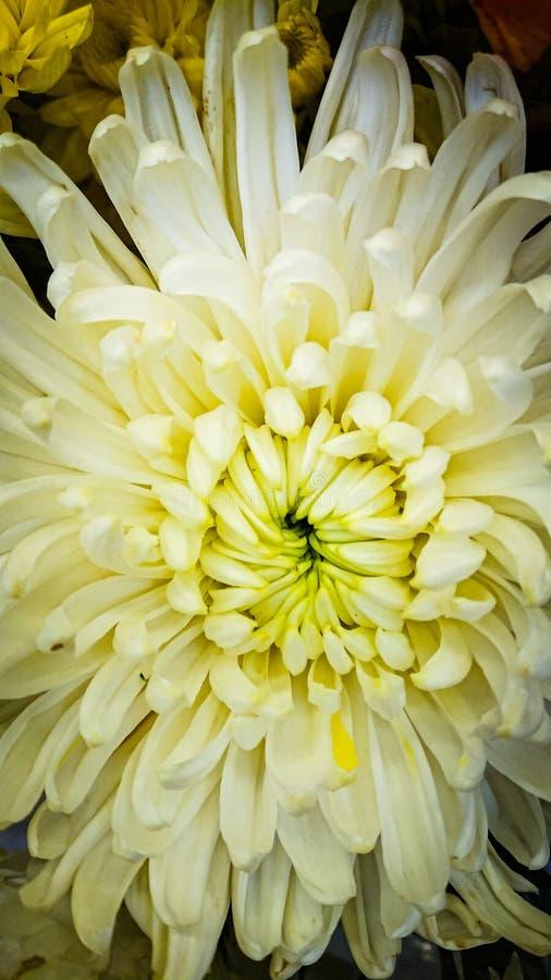 De witte Chrysantenbloem stock afbeeldingen