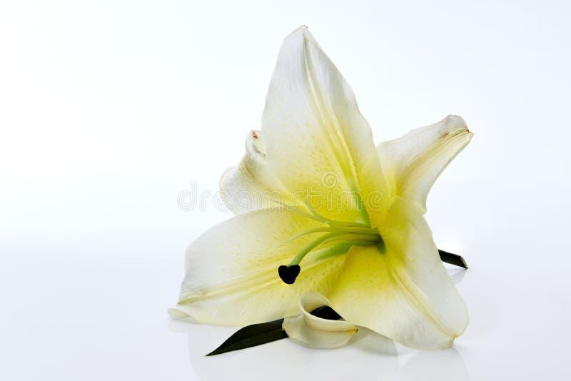 Download De Witte Close-up Van De Leliebloem Op Wit Stock Afbeelding - Afbeelding bestaande uit flora, geel: 107707841