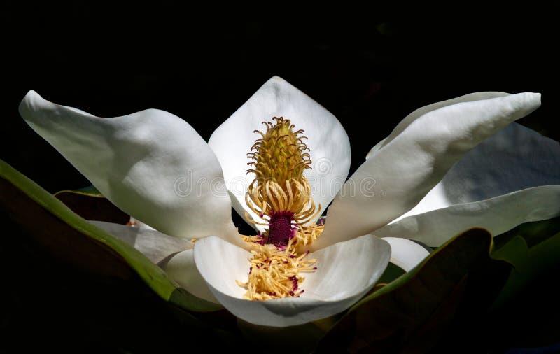 De witte close-up van de magnoliabloem op zwarte achtergrond stock foto