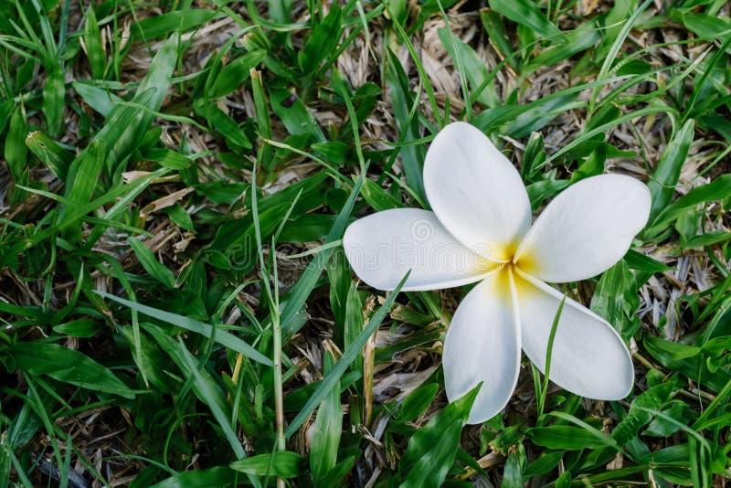 De witte daling van plumeriabloemen op het gazon royalty-vrije stock afbeeldingen