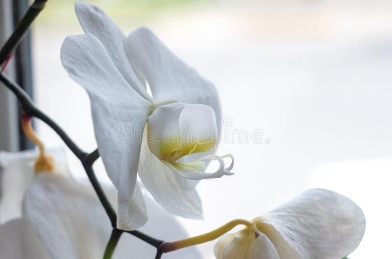 De witte Dichte Omhooggaande, macrofoto van de Orchideebloem stock foto