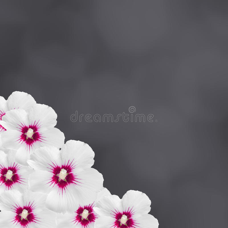 De witte die hibiscusbloemen, Hibiscus rosa-sinensis, hibiscus Chinees, als roze malve wordt bekend, zwarte textuurachtergrond, s stock afbeelding