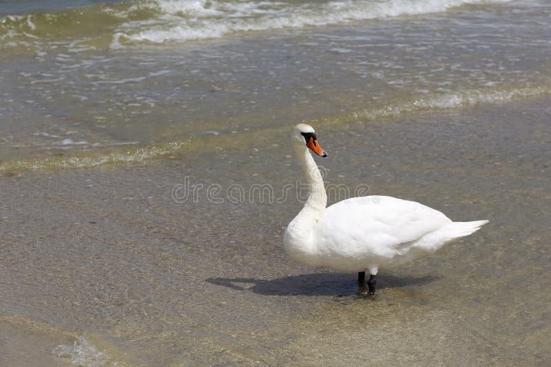 De witte die zwaan door de kust wordt tegengehouden stock foto's