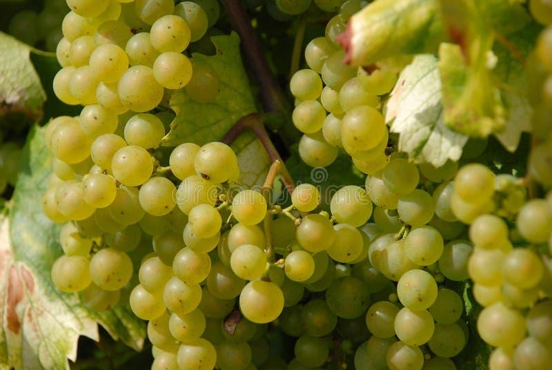 De witte Druiven van de Wijn op Wijnstok royalty-vrije stock foto