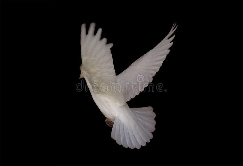 De witte duif die isoleert bij de zwarte vliegen stock foto
