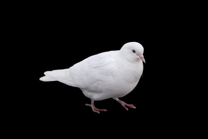 De witte duif zit op houten dwarsligger dichte omhooggaand royalty-vrije stock afbeelding