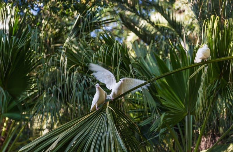 De witte duiven op palm vertakt zich in het park van marie-Louise in Sevilla, Spanje stock foto