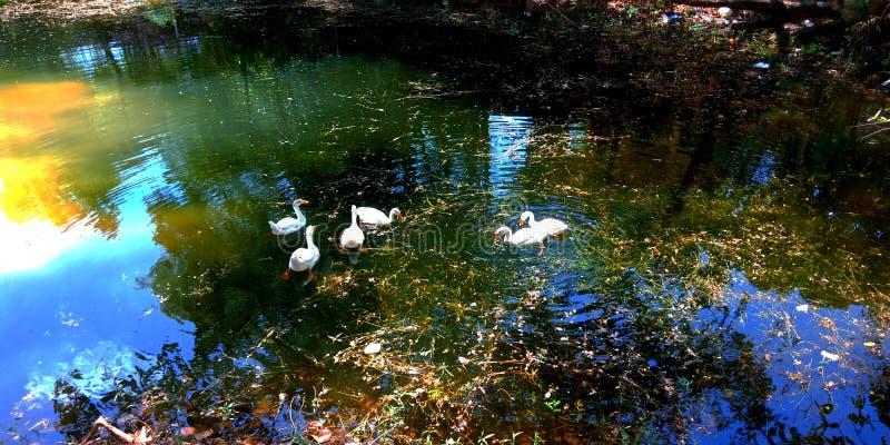 de witte eenden die in het meer zwemmen bekijken het mooie verbazen kijken het aantrekkelijke beeld van de watervoorraad stock afbeelding