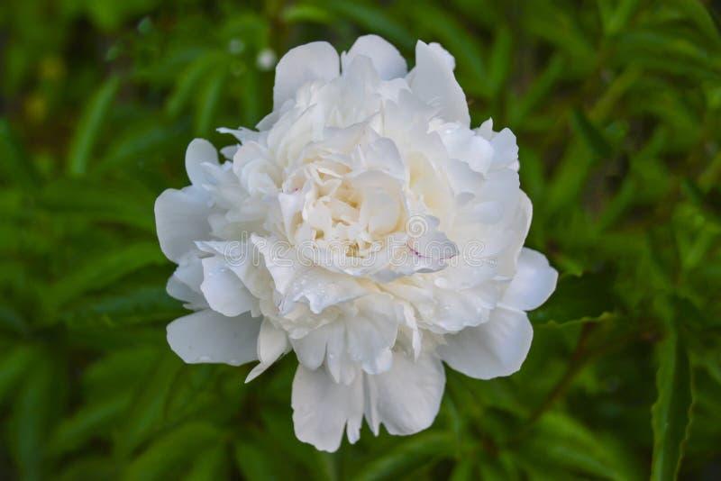 de witte Eeuwigdurende installatie van de pioenbloem met grote mooie bloemen Close-up stock foto