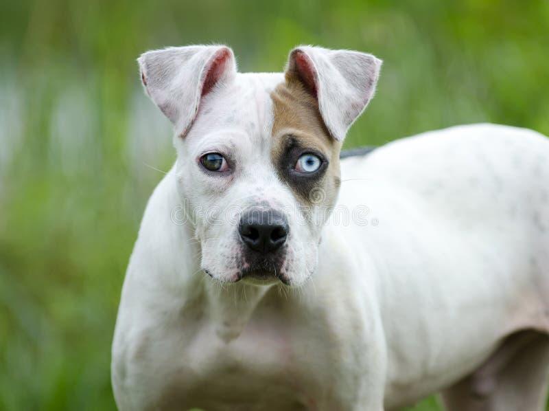 De witte en bruine Amerikaanse Buldog gemengde hond van het rassenpuppy royalty-vrije stock foto's