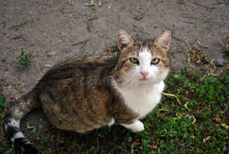 De witte en bruine bevlekte zitting van het de kattenras van Cyprus en het kijken op gras royalty-vrije stock fotografie