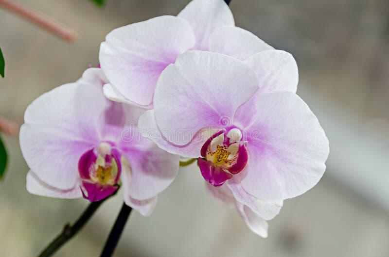 De witte en mauve phal bloemen van de orchideetak, sluiten omhoog, vensterachtergrond stock fotografie