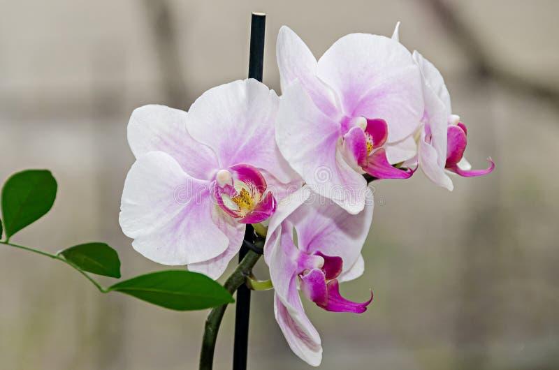 De witte en mauve phal bloemen van de orchideetak, sluiten omhoog, vensterachtergrond stock afbeelding