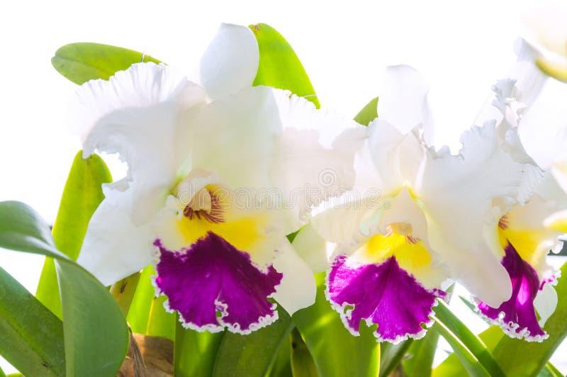 De witte en purpere bloem van de cattleyaorchidee royalty-vrije stock foto